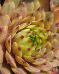 Sempervivum 'Red Pink' - Hauswurz