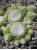 Sempervivum Early Winter - Spinnweb-Hauswurz