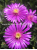 Delosperma 'Morning Face' - Mittagsblume