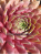 Sempervivum Pink Power Girl