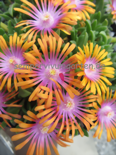 Delosperma 'New Fire'