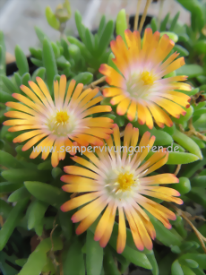 Delosperma 'Orange Topaz' - Mittagsblume