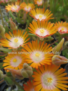 Delosperma 'Perfekt Orange' - Mittagsblume