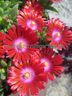 Delosperma 'Red Fire'