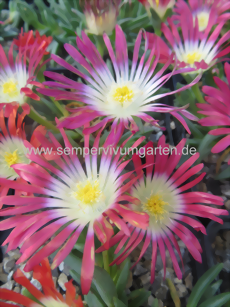 Delosperma 'Red Mountain' - Mittagsblume