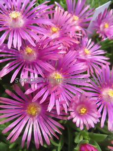 Delosperma 'Stars and Stripes'