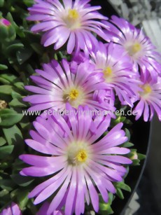 Delosperma 'Table Mountain' - Mittagsblume