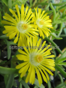 Delosperma WHEELS OF WONDER 'Golden Wonder' ®