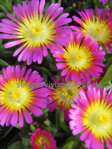 Delosperma WHEELS OF WONDER 'Hot Pink Wonder' ®