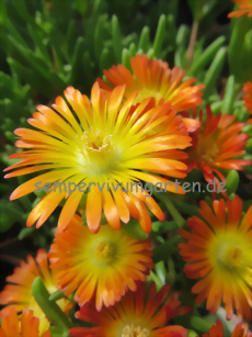 Delosperma WHEELS OF WONDER 'Orange Wonder' ®