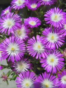 Delosperma 'Wonderful Pink'