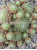 Sempervivum Baby Star - Spinnweb-Hauswurz
