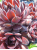 Sempervivum Derian