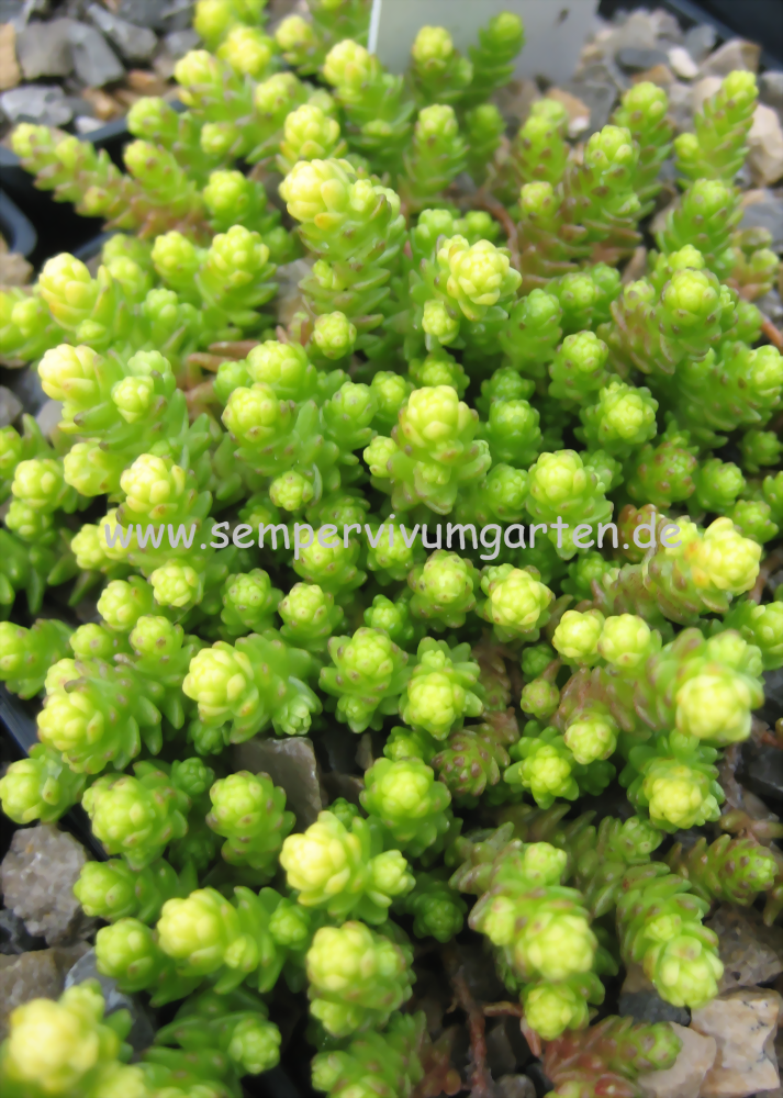 sedum acre 39 yellow queen 39 mauerpfeffer sempervivumgarten. Black Bedroom Furniture Sets. Home Design Ideas