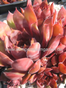 Sempervivum Black Magic Woman - Hauswurz
