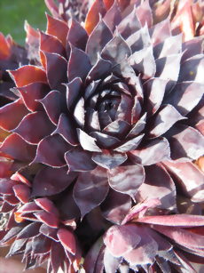 Sempervivum Black Tears