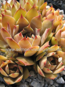Sempervivum Blonde Dame - Hauswurz