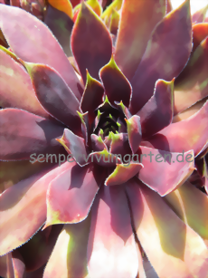 Sempervivum Blood of Winter