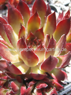Sempervivum Bloodgood - Dachwurz