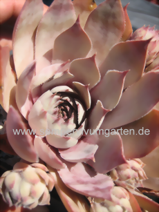 Sempervivum Blue M82 - Dachwurz