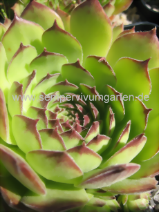 Sempervivum Brand New Heavies - Dachwurz