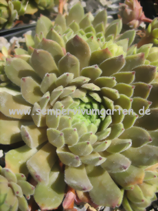 Sempervivum Broad Peak - Dachwurz