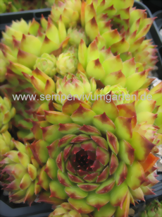 Sempervivum Brownspot Heaven - Hauswurz