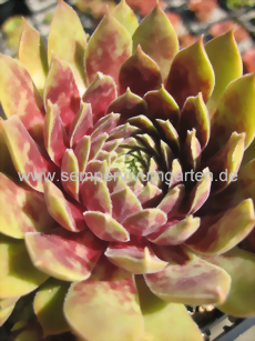Sempervivum Chandra - Dachwurz