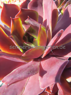 Sempervivum Chelli