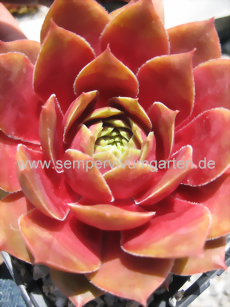 Sempervivum China Doll - Dachwurz