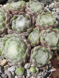 Sempervivum Chipper Cherry - Dachwurz