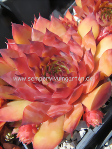 Sempervivum Choctaw - Dachwurz