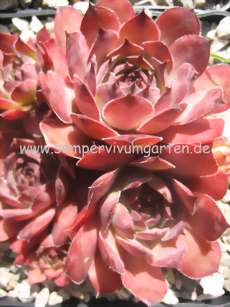 Sempervivum Cloud Cap - Dachwurz