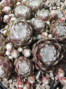 Sempervivum Cobweb Joy - Dachwurz