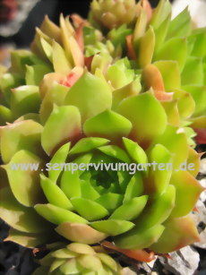 Sempervivum Cockoo - Hauswurz
