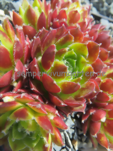 Sempervivum Corneille