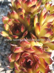 Sempervivum Crown Sterling - Dachwurz