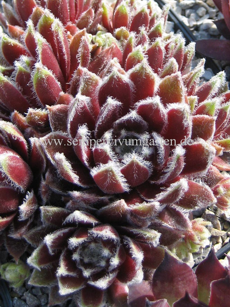 Sempervivum Ginnies Delight