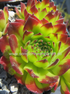 Sempervivum grandiflorum Julian - Hauswurz