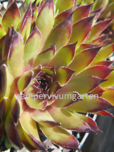 Sempervivum Grashopper