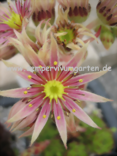 Sempervivum Green Fellow - Dachwurz