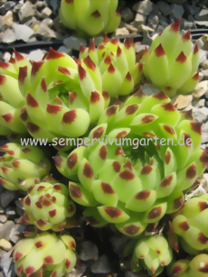 Sempervivum Greenii - Dachwurz