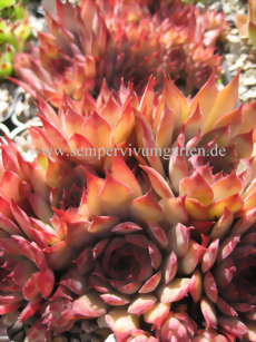 Sempervivum Grenadier - Dachwurz