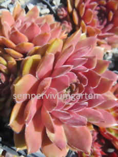 Sempervivum Haccombe Ruby