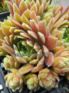 Sempervivum Just Peachy