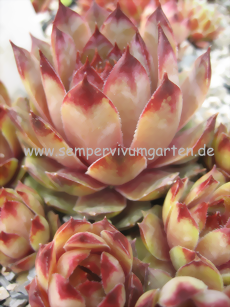 Sempervivum Lady Di - Dachwurz