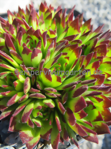 Sempervivum Lilly's Love