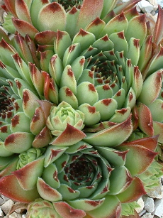 Sempervivum Little - Hauswurz