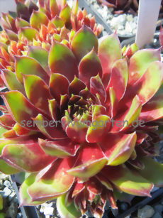 Sempervivum Little Flirt
