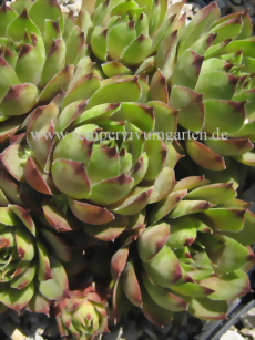 Sempervivum Little Rock - Dachwurz